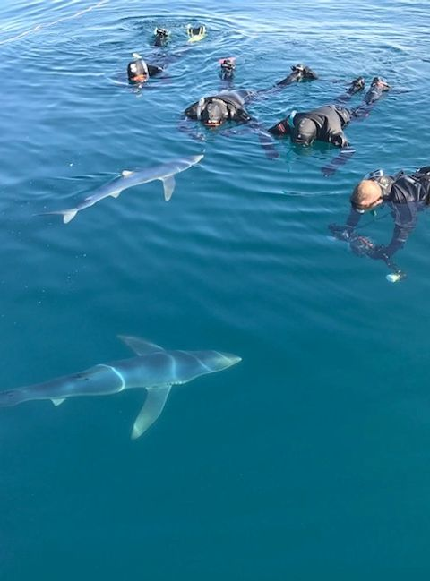 4 in the Water with 2 Sharks Shark diving experience Falmouth Cornwall swimming with sharks Mylor