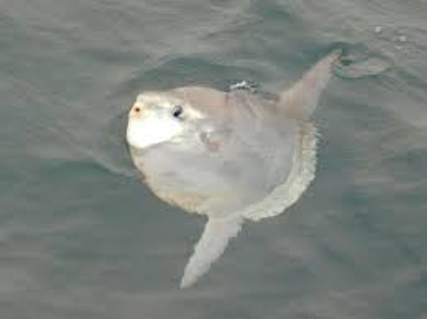 a sunfish in Falmouth taken onboard seawatch Mylor Cornwall charter fishing boat commercial survey