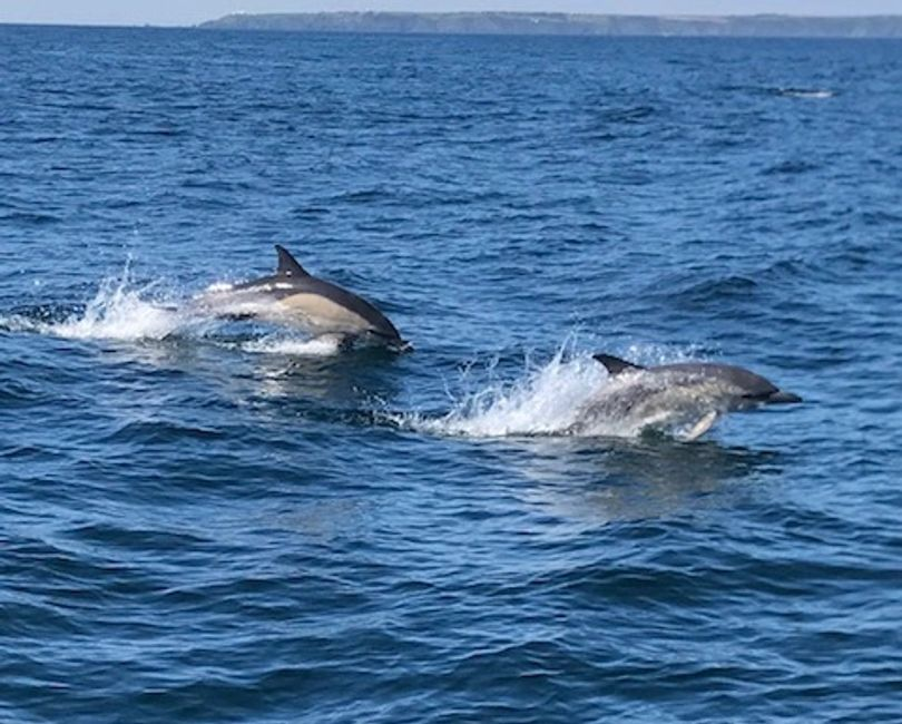 Dolphines dolphin trips from Falmouth Cornwall wildlife trips Mylor harbour watch dolphins at play