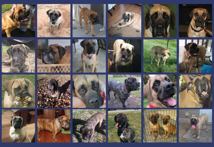 Mastiff - Southern States Mastiff Rescue