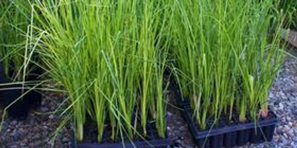 Vetiver Grass is useful for preventing soil erosion and can be used in most landscapes.