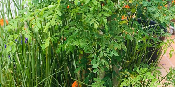 Moringa powder and seeds can be dispatched all over Europe and plants can be collected from site.