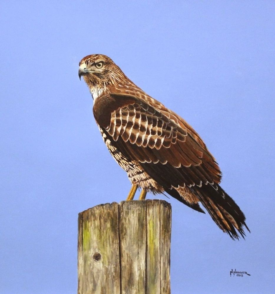 Red-tailed Hawk, 2018, Watercolor, interpreted from a Michael Funk photograph
