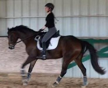 Nala, a bay mare, cantering under saddle in an indoor arean