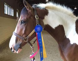 Picture of a filly with a blue ribbon she won