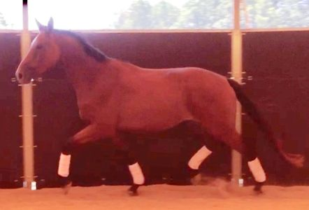 "Goethe, nicknamed ""Tick"" trotting in a round pen"