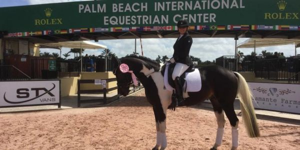 Sport horse Stallion, Gotham, at Palm Beach, Florida horse show