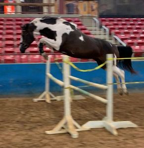 Black and white paint horse jumping