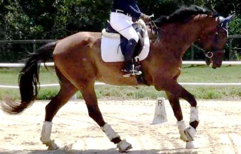 Oryx, a bay gelding, cantering under saddle