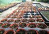 Pricking out hardy annuals