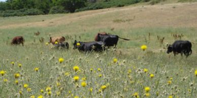 Yellow starthistle and cattle