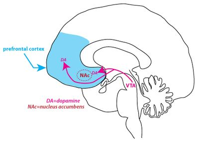"Dopamine pathways in the brain.  Most begin in the brain ""switching station"" called the VTA"
