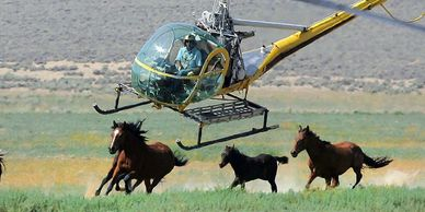 Photo of helicopter running wild horses into traps.