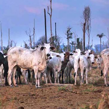 Amazon - Deforestation, Cattle Farming