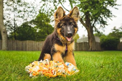 German Shepherd Puppy with Snuffle Mat