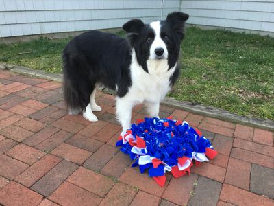 Border Collie with Snuffle Mat