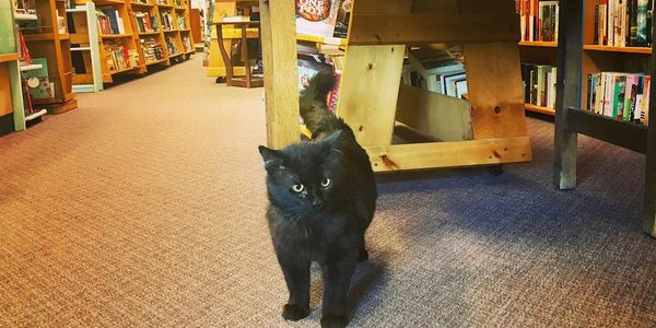 Merlin Bookstore Cat Helps Discover Rare and Out of Print Novels Manuscripts and More
