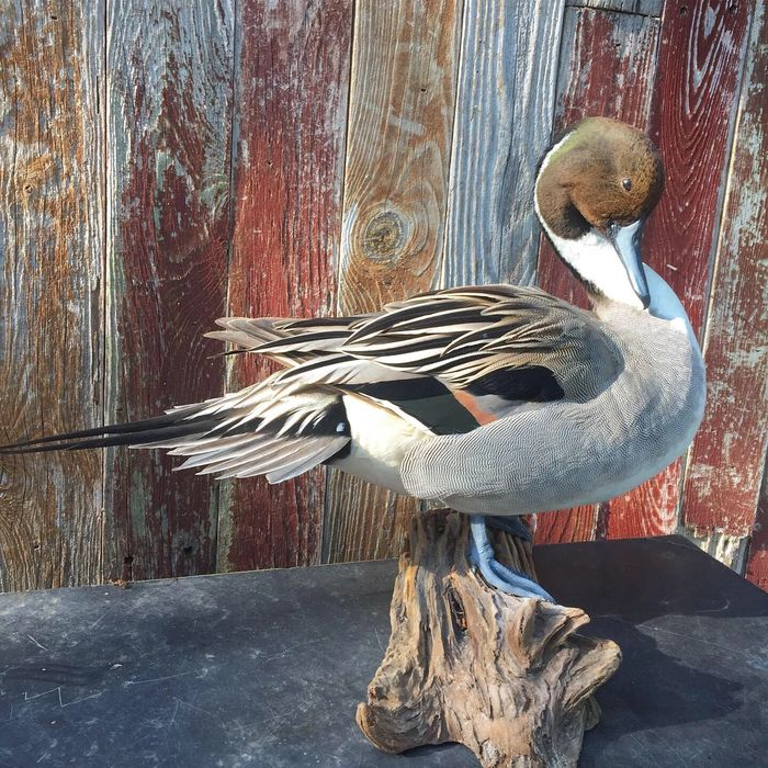 Waterfowl and bird taxidermy in San Antonio, Texas