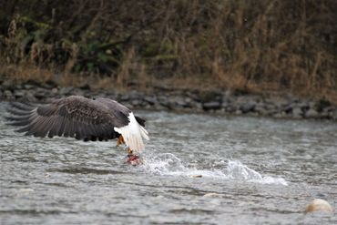 Adult Bald Eagle With fish he is losing his grip on the fish.