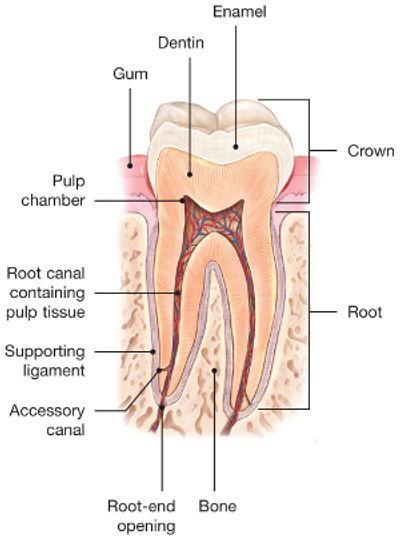 Diagram of root canal structures.