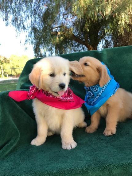 Golden Retriever Puppies - Golden Retriever Buddies | Golden