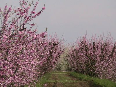 Come enjoy our blossom trail in the Spring from late February to mid March.