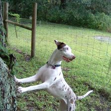 T Bar S Catahoulas Working Dogs Breeder Hunting Dogs