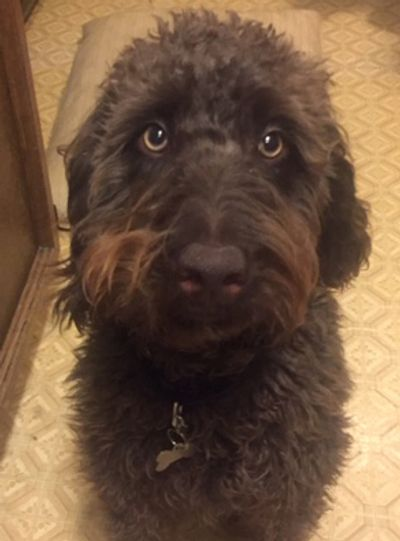 Gary is available for adoption.  He is a  9 month old neutered male labradoodle.