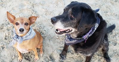 Adoptable best friends Dexter the chihuahua and Dutch the black lab hanging out on the beach
