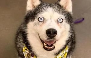 Husky Lavender ready for her close up with a yellow bandanna
