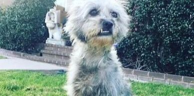 Geroge Clooney is a grey terrier with an awesome underbite