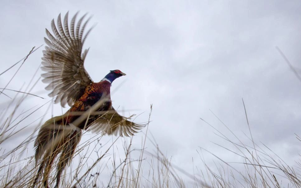 Rooster pheasant flying photo by North Dakota Game and Fish