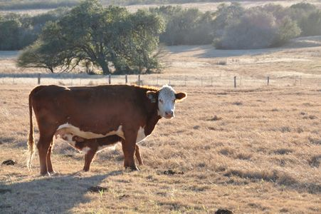 Redbird Ranch, Herefords, Certified F1s, F1s, Brafords, EPDs, Nopal TX, Tigerstripes