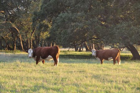 Redbird Ranch Cattle, Herefords, Tigerstripes, F1s, Nopal TX, Brafords, Cattle for sale