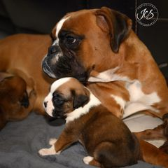 boxer puppies; puppies for sale; boxers; dogs; boxer breeder; dog breeder