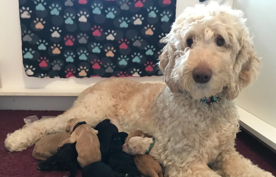 Standard Size Australian Labradoodles Puppies from Lucky Country Labradoodles in North Carolina