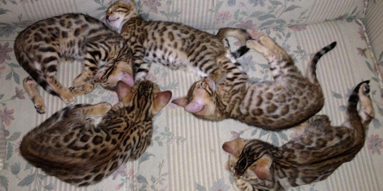 f3d4a7a8 Ridgeland Bengals - Bengal Kittens, Connecticut