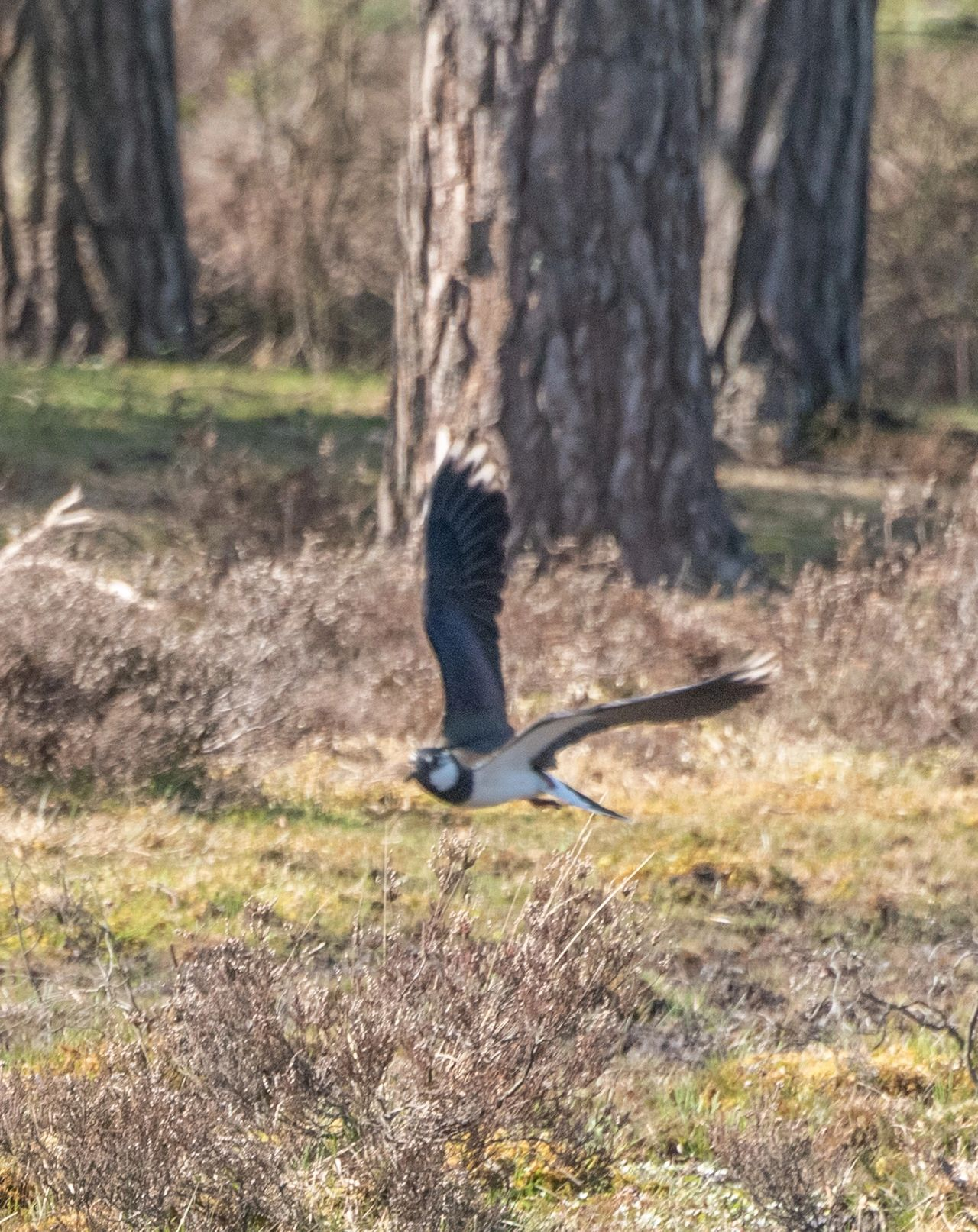 Lapwing, New Forest