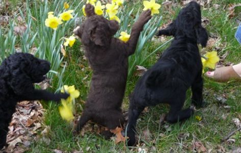 Three Labradoodle Pups Having Fun