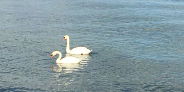 A pair of swans, stress relief, Work-Life balance, personal and professional development.