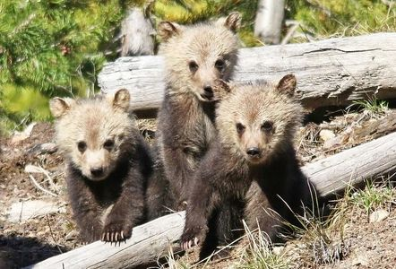 Grizzly bear cubs Yellowstone National Park. Yellowstone Park Vacation Planning.