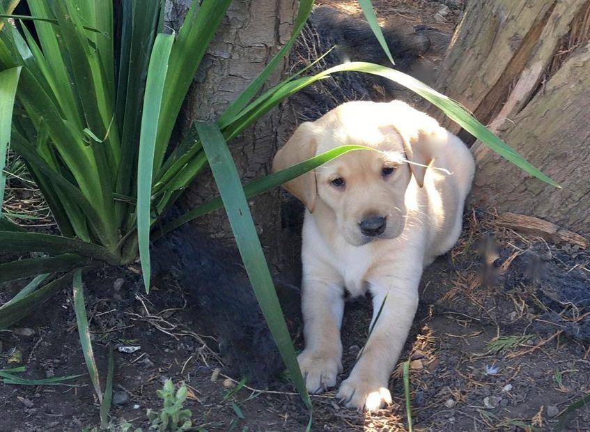 Wonderbaar Pinfeathters Labradors - Gundogs Pups, Labrador Puppies XI-87