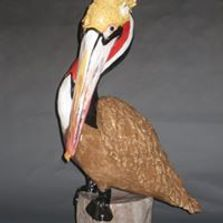 A Brown Pelican in all his mating season splendor