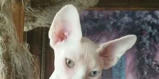Stunning odd eyed sphynx female available and ready now