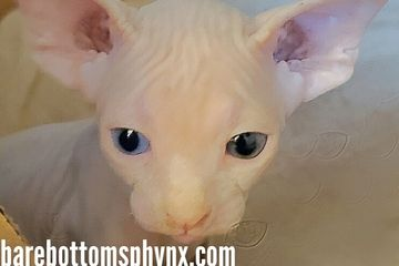 100% Canadian sphynx Male kitten available for reservation odd eye very rare and very bald and sweet