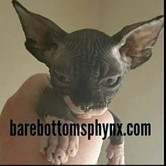 Black and white tuxedo bambino boy available for reservation ready soon barebottomsphynx.com