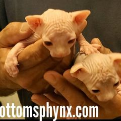 2 sphynx boys available for reservation ready in 9 weeks 1 lilac and white and 1 white point