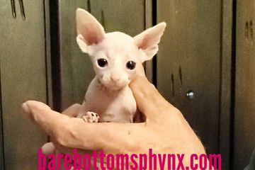 Sphynx baby girl ready soon in January available for reservation now 9518050070