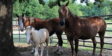 Mustang mares saved from kill pen:  Barbie, Baby Doll and her foal, Casper.