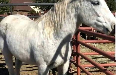 It's hard to tell, but Akira is also a pinto - saved w/Mariko from a N. Texas kill pen.